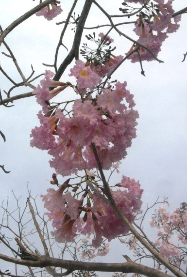 Spring came early to jaltemba bay mexico news the beautiful flowers grow in clusters of 1 to 3 inches 3 to 8 cm wide becoming larger and more profuse as the tree matures these are large trees that mightylinksfo