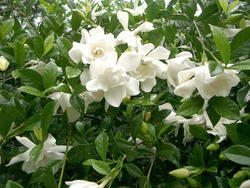 how to get rid of sooty mold on gardenia