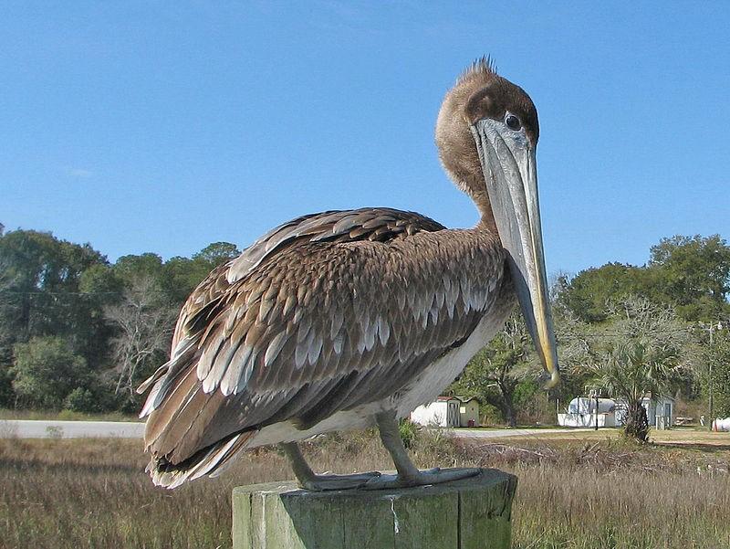 Brown Pelicans Beachside Beggars Mexico News