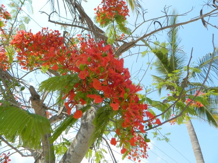Tropical Summer Perks Royal Poinciana And Golden Raintree In Bloom