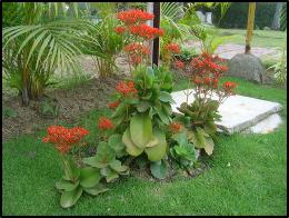 Gardening In Mexico Kalanchoe Mexico News
